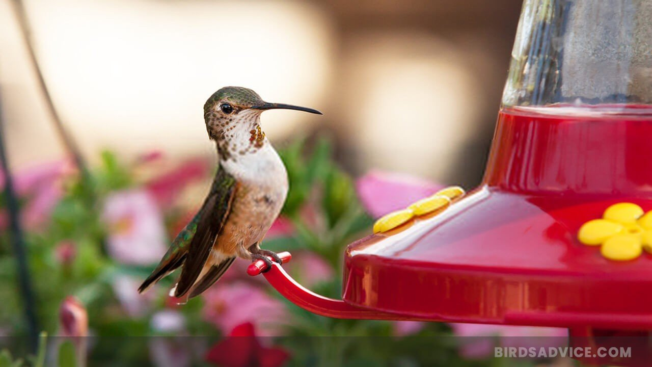 What to Put in Hummingbird Feeder
