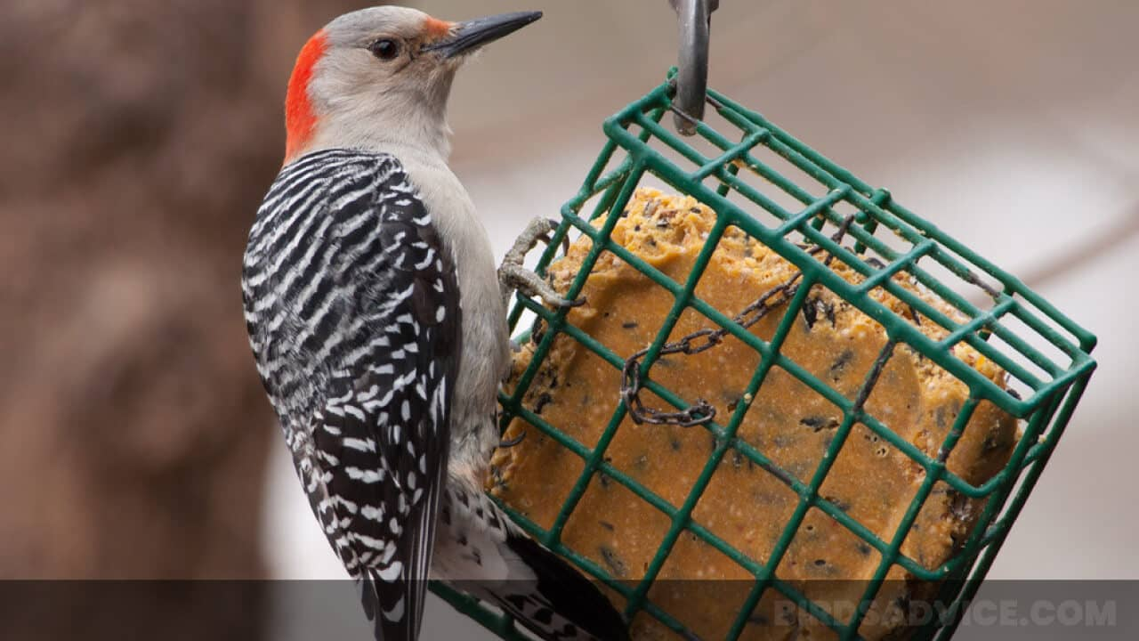 How to Make Homemade Suet for Birds