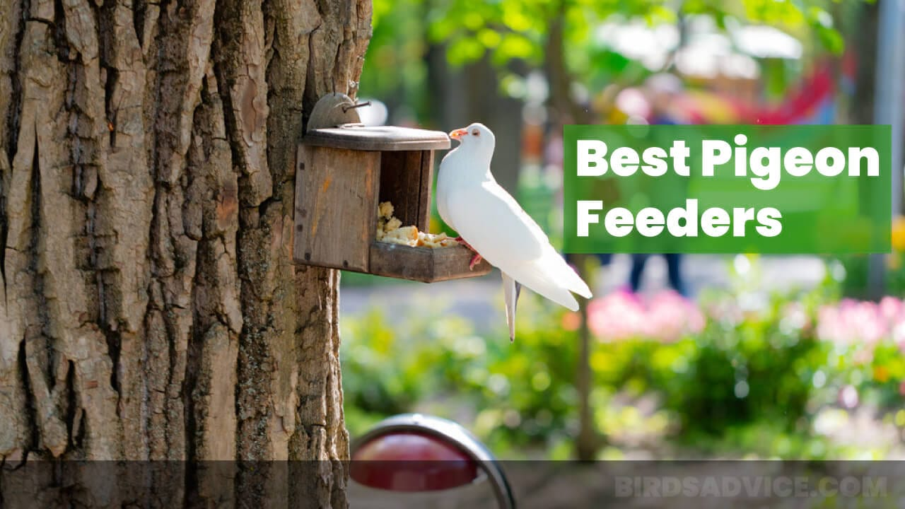 Best Pigeon Feeders